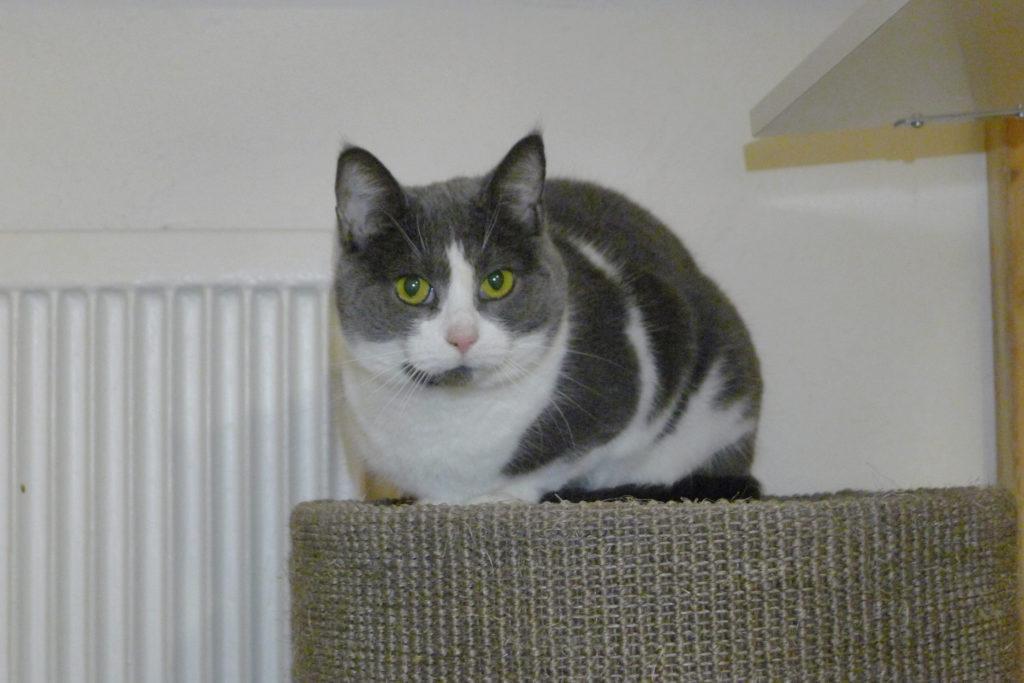 Grå och vit katt ligger på kattorn och spånar