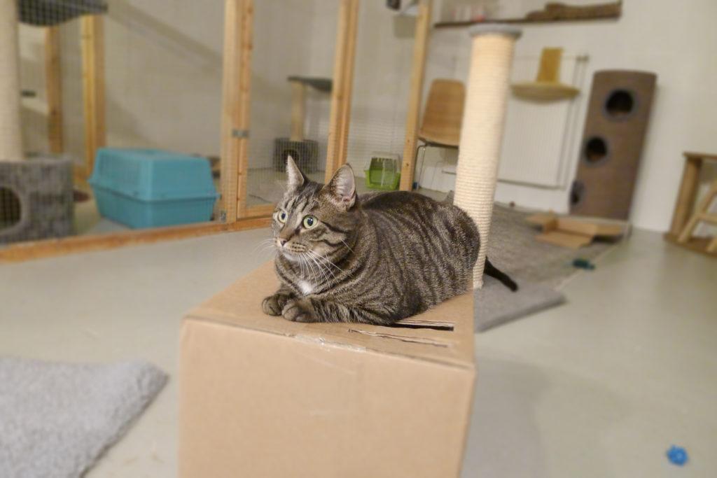 Grårandig katt ligger på kartong och spånar