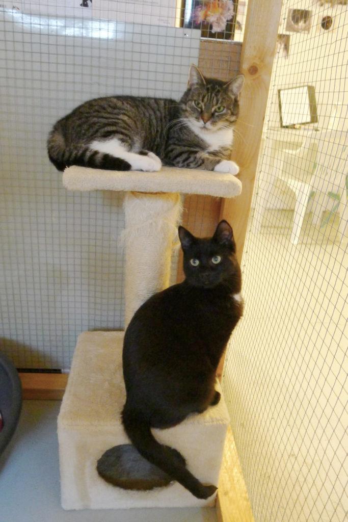 En grårandig med vit och en svart katt med vit på kattorn
