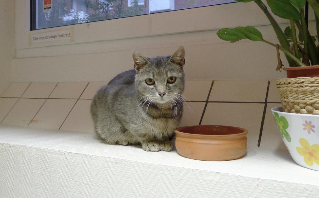Ljusgrårandig katt i fönster med terrakotta skål och grön växt i förgrunden