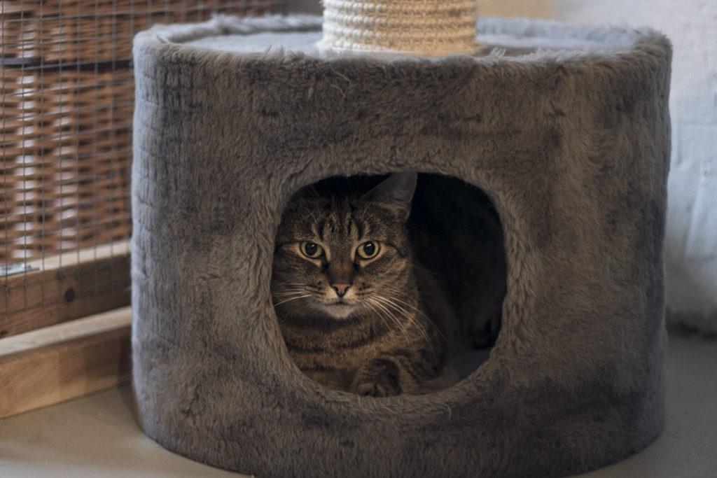 Grårandig katt i grå katthåla