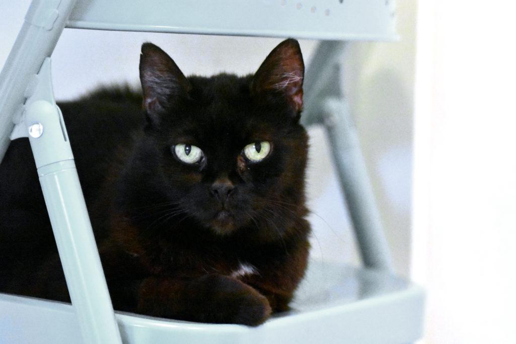 Närbild svart katt med vit stjärna på bröstet som ligger på en vit stol och tittar in i kameran