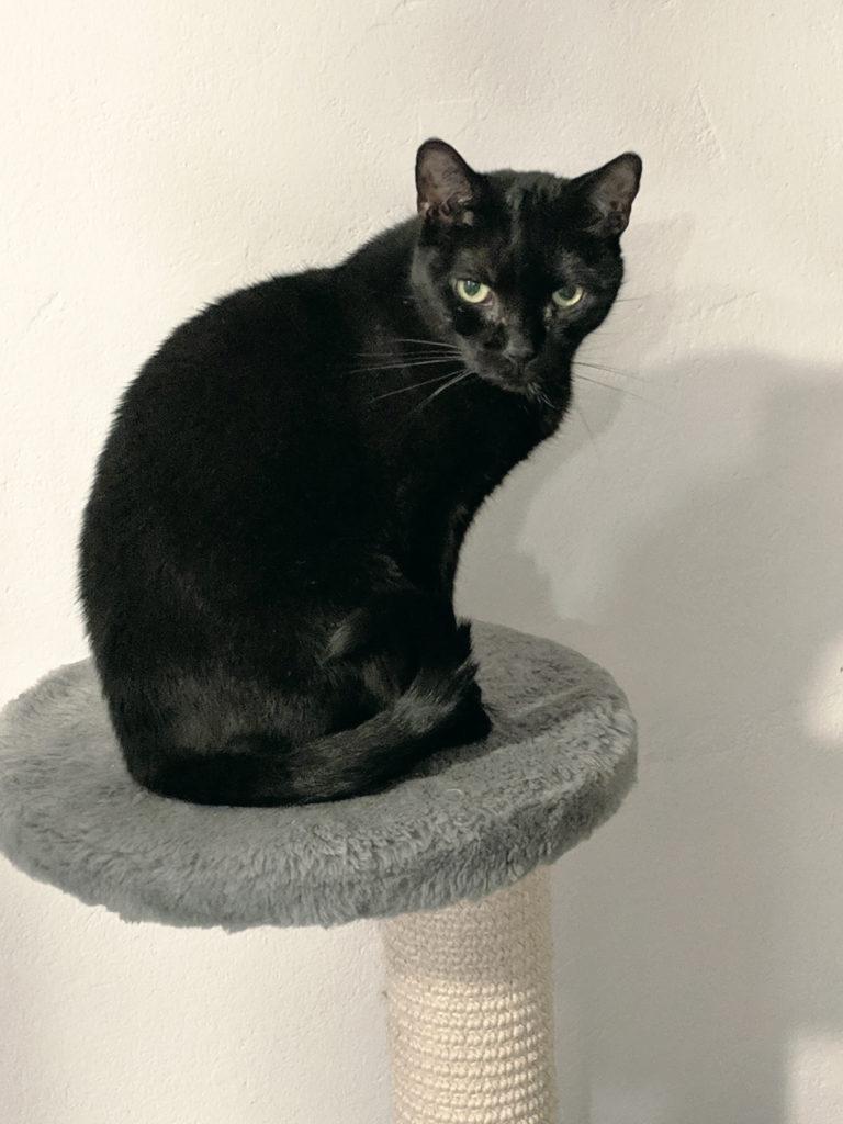 Svart katt sitter på kattorn och tittar in i kameran
