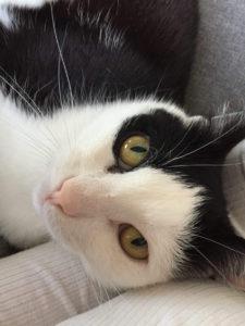 Närbild vit och svart katt som tittar in i kameran