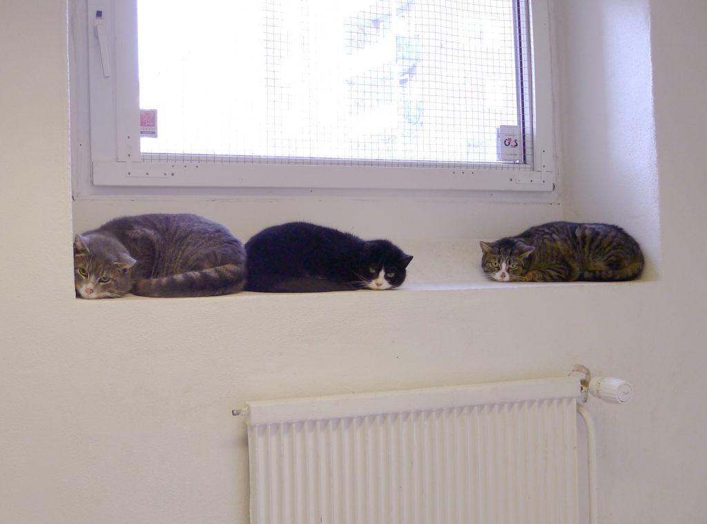 Tre katter i variationer av grårandig och vit ligger i fönster och tittar lite rädda