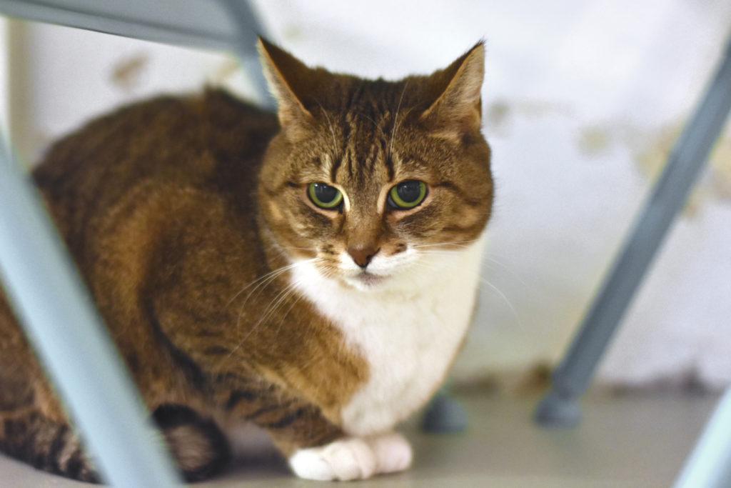 Närbild av brunrandig katt med vit bröst och tassar