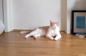 Vit och röt katt som ligger på parkettgolv med stängda ögon