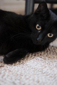 Närbild svart katt som ligger på beige matta