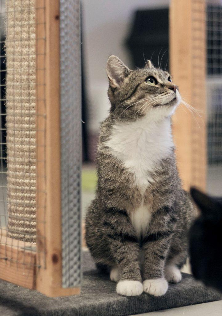 Grårandig katt med vit bröst och tassar
