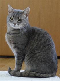 Ljusgrårandig katt