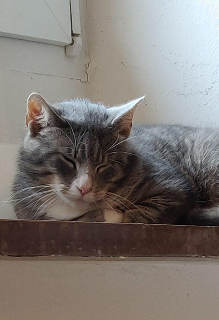 Grårandig katt som ligger i fönsterkarmen